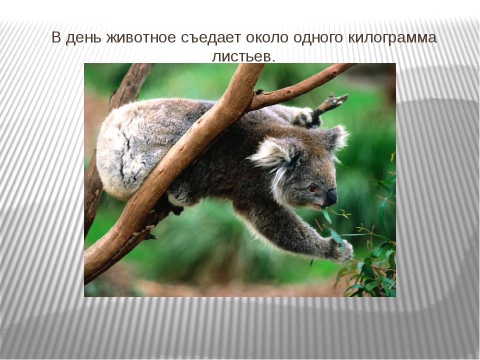 В день животное съедает около одного килограмма листьев.