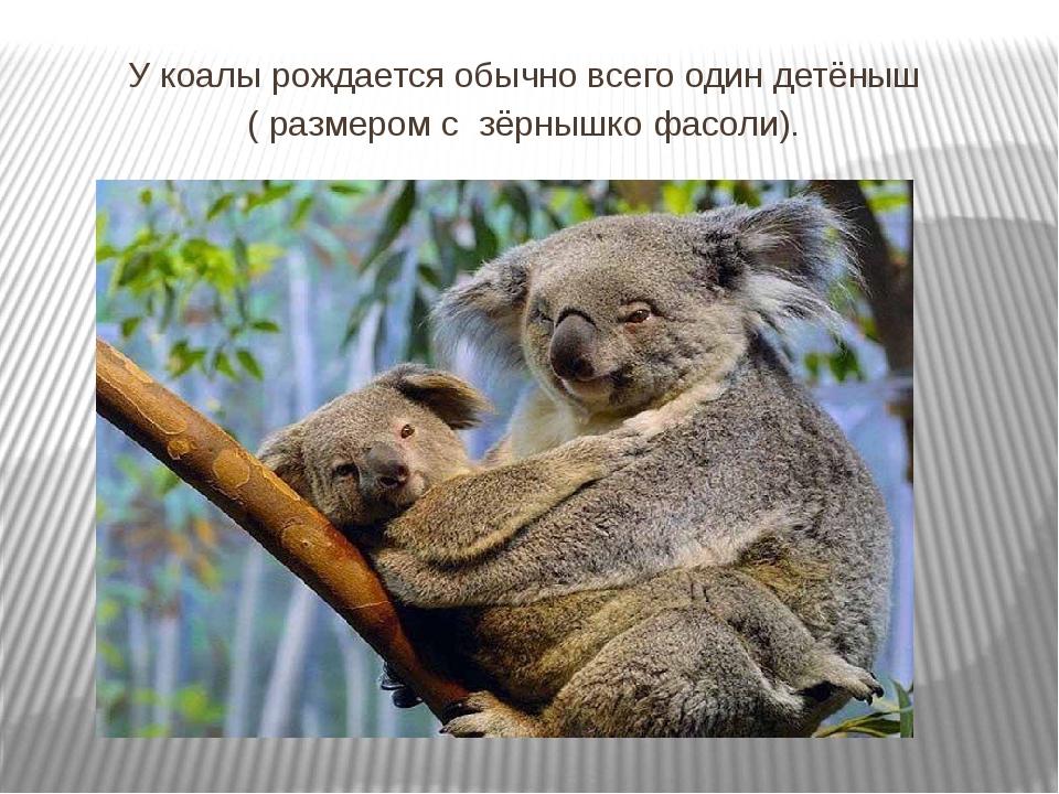 У коалы рождается обычно всего один детёныш ( размером с зёрнышко фасоли).