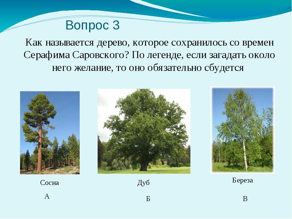 Вопрос 3 Как называется дерево, которое сохранилось со времен Серафима Саров...