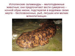 Исполинские саламандры – малоподвижные животные; они предпочитают вести сумер