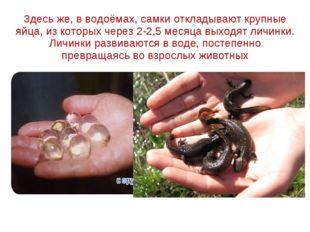 Здесь же, в водоёмах, самки откладывают крупные яйца, из которых через 2-2,5