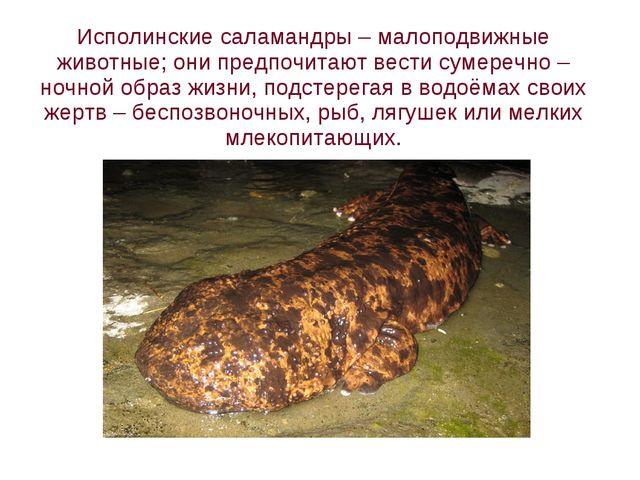 Исполинские саламандры – малоподвижные животные; они предпочитают вести сумер...