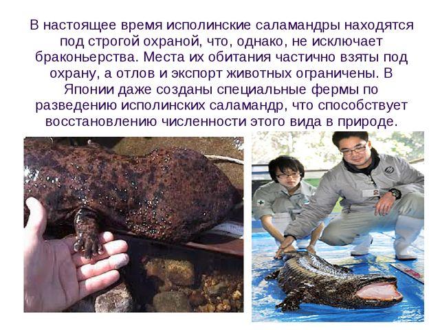 В настоящее время исполинские саламандры находятся под строгой охраной, что,...