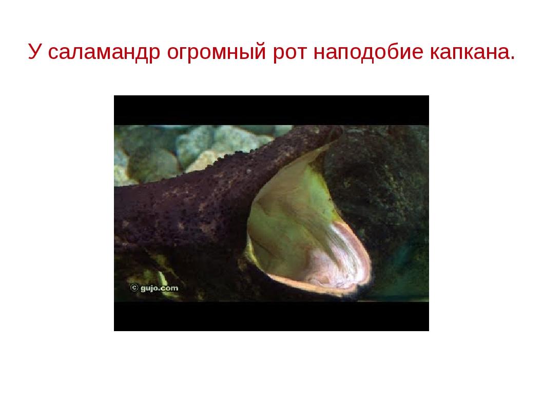 У саламандр огромный рот наподобие капкана.