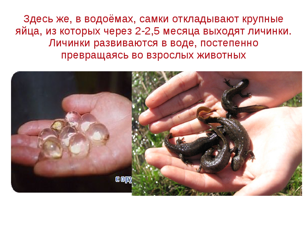 Здесь же, в водоёмах, самки откладывают крупные яйца, из которых через 2-2,5...