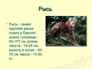 Рысь Рысь - самая крупная дикая кошка в Европе: длина туловища - 80-107 см, д