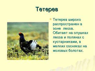 Тетерев Тетерев широко распространен в зоне лесов. Обитает на опушках лесов и