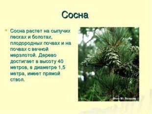 Сосна Сосна растет на сыпучих песках и болотах, плодородных почвах и на почва