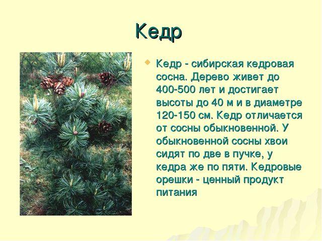 Кедр Кедр - сибирская кедровая сосна. Дерево живет до 400-500 лет и достигает...