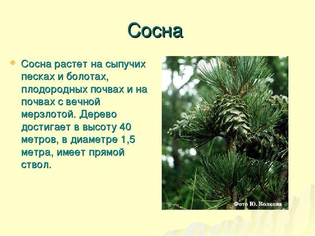 Сосна Сосна растет на сыпучих песках и болотах, плодородных почвах и на почва...