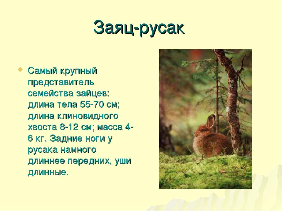 Заяц-русак Самый крупный представитель семейства зайцев: длина тела 55-70 см;...