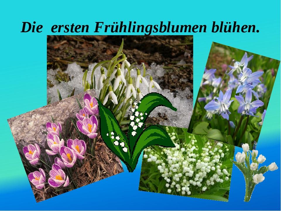 Die ersten Frühlingsblumen blühen.