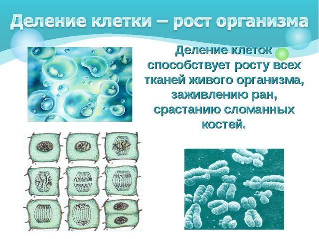 Деление клеток способствует росту всех тканей живого организма, заживлению р...