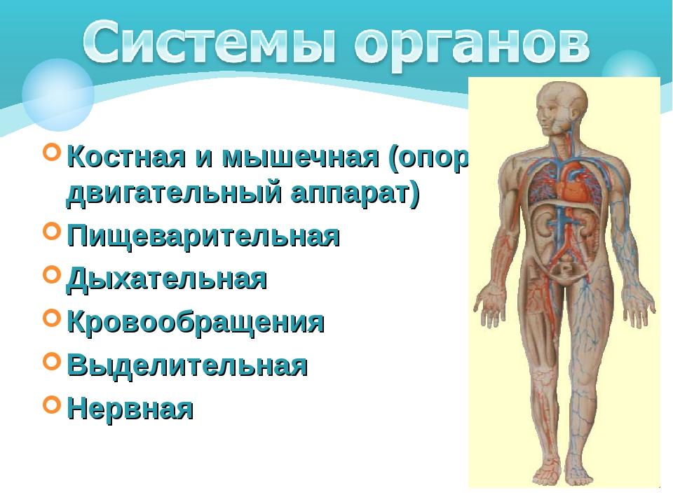 Костная и мышечная (опорно-двигательный аппарат) Пищеварительная Дыхательная...