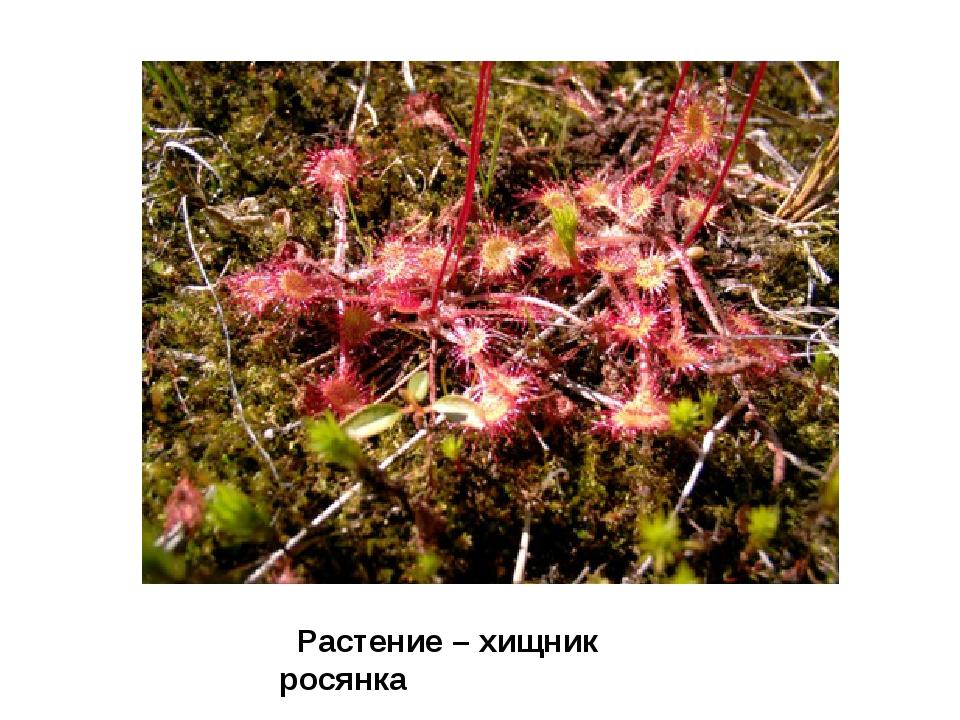 Растение – хищник росянка