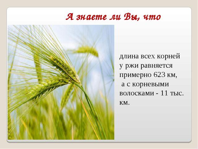 А знаете ли Вы, что длина всех корней у ржи равняется примерно 623 км, а с ко...