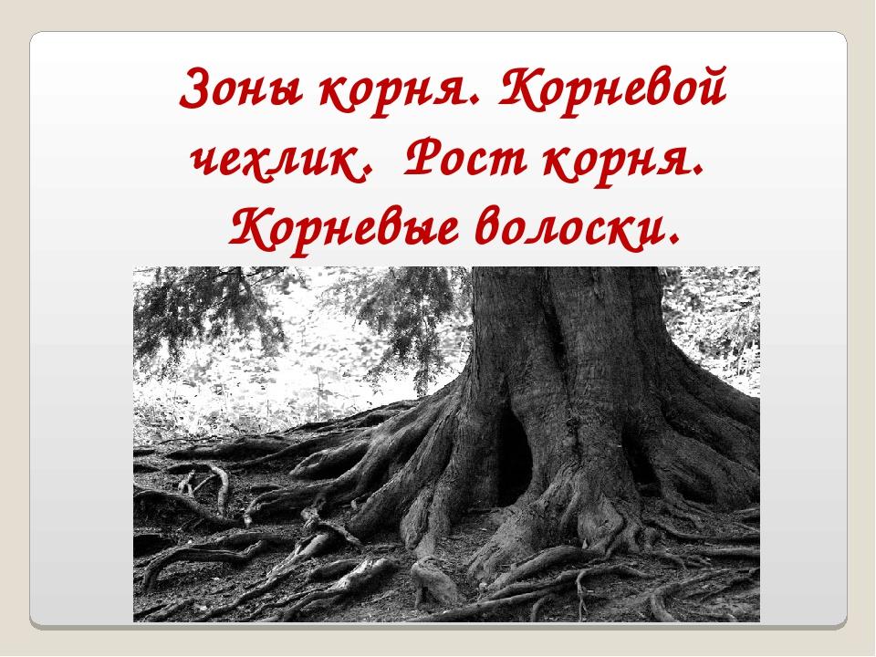 Зоны корня. Корневой чехлик. Рост корня. Корневые волоски.
