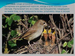 Соловей гнездо устраивает обычно на земле у корней кустарника или древесной