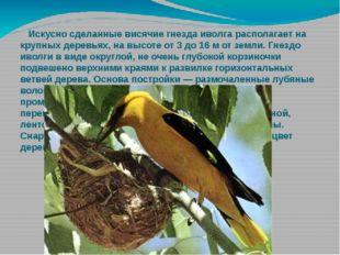 Искусно сделанные висячие гнезда иволга располагает на крупных деревьях, на