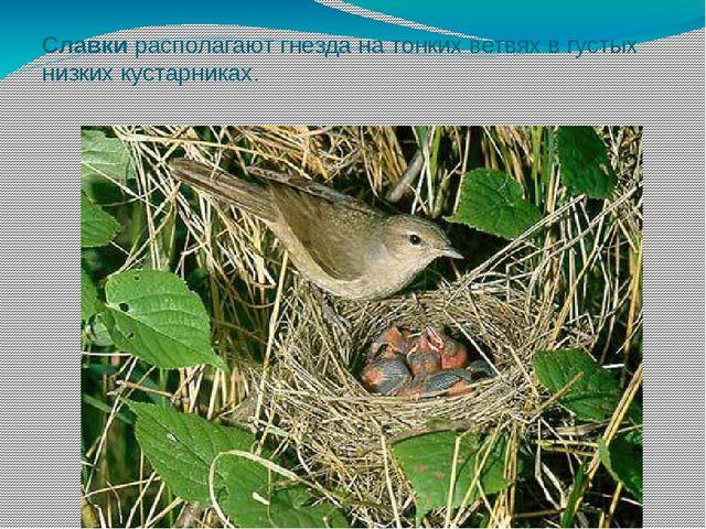 Славки располагают гнезда на тонких ветвях в густых низких кустарниках.