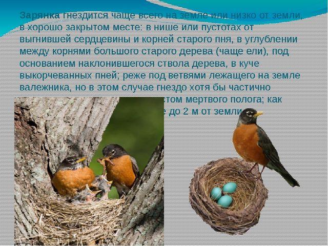 Зарянка гнездится чаще всего на земле или низко от земли, в хорошо закрытом м...