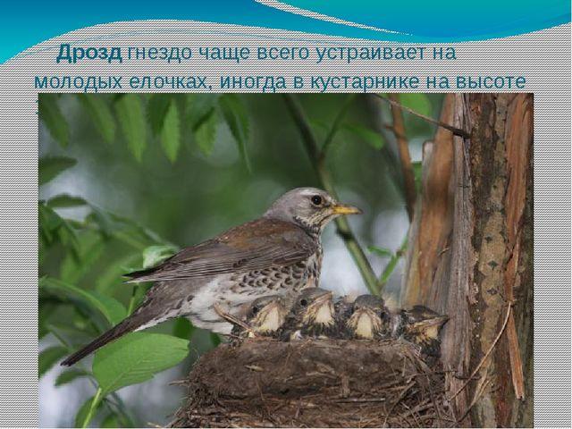 Дрозд гнездо чаще всего устраивает на молодых елочках, иногда в кустарнике н...