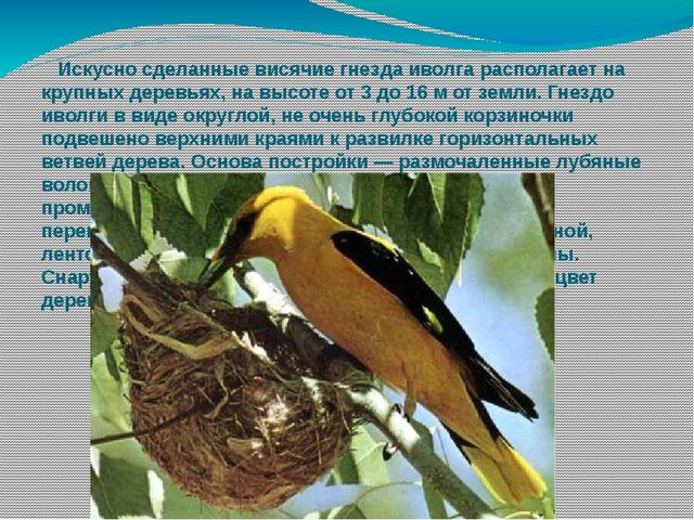 Искусно сделанные висячие гнезда иволга располагает на крупных деревьях, на...