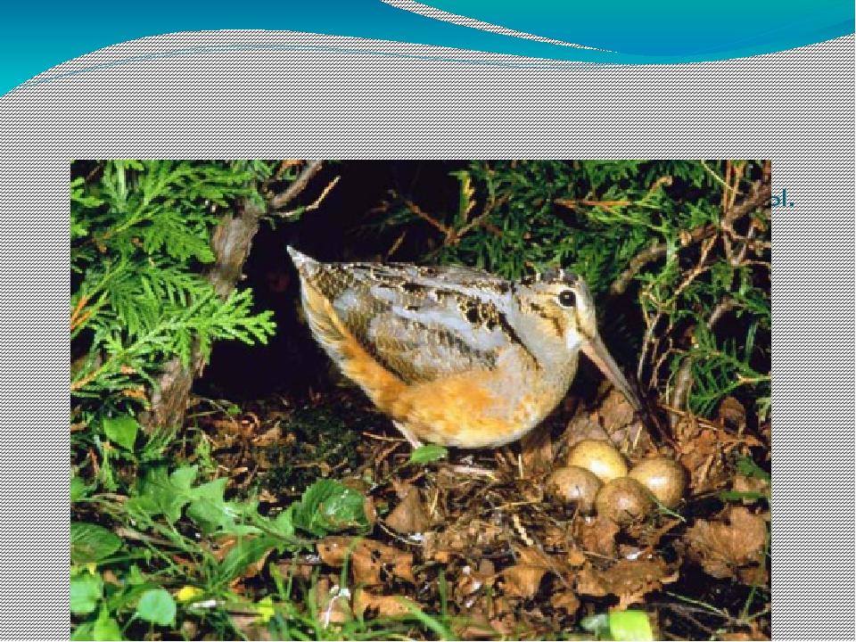 Кулик размещает гнездо на земле вблизи воды. Гнездо представляет собой ямку...