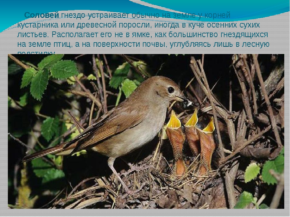 Соловей гнездо устраивает обычно на земле у корней кустарника или древесной...