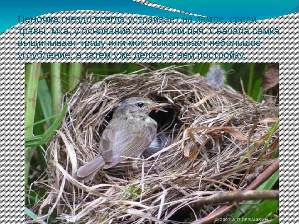 Пеночка гнездо всегда устраивает на земле, среди травы, мха, у основания ство...