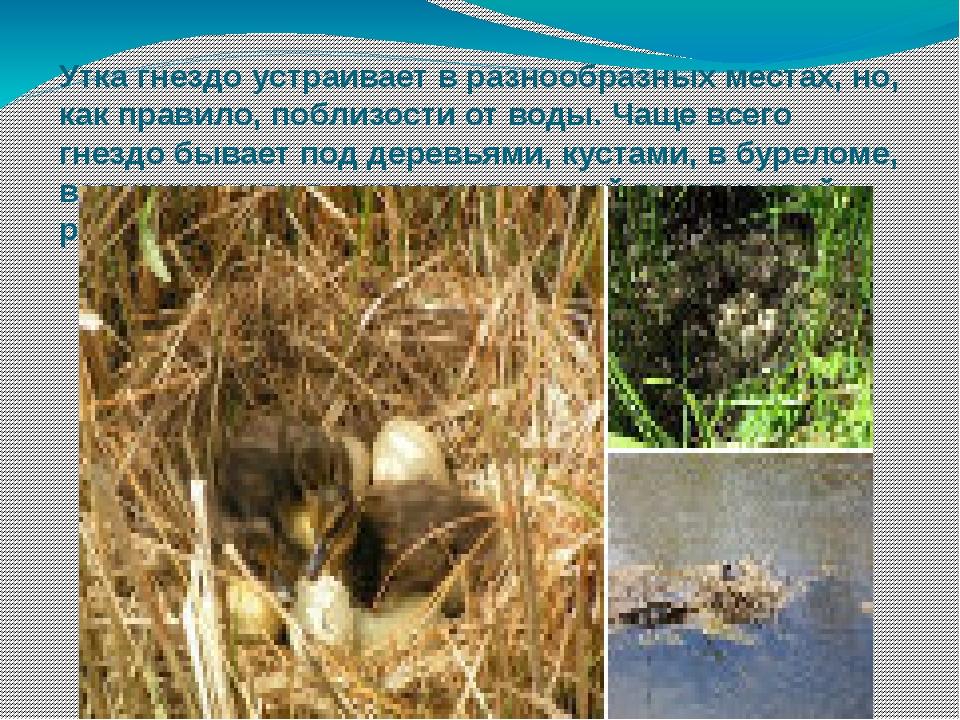 Утка гнездо устраивает в разнообразных местах, но, как правило, поблизости от...