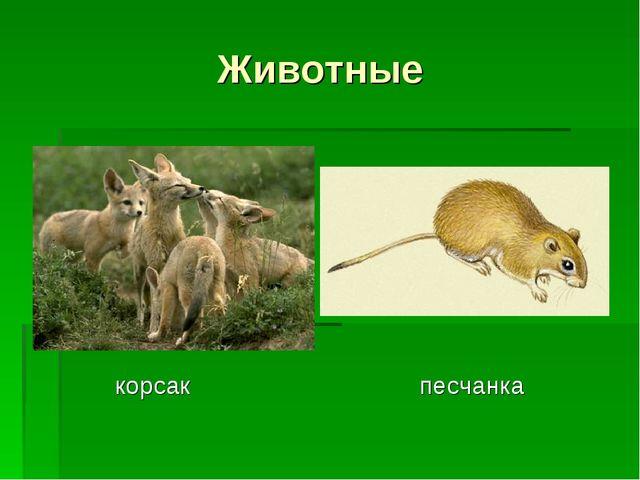 Животные корсак песчанка