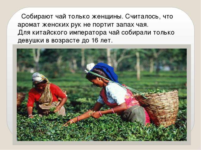 Собирают чай только женщины. Считалось, что аромат женских рук не портит зап...