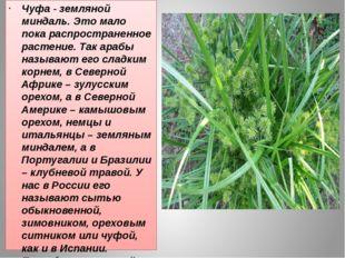 Чуфа - земляной миндаль. Это мало пока распространенное растение. Так арабы