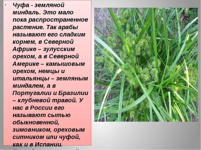 Чуфа - земляной миндаль. Это мало пока распространенное растение. Так арабы...