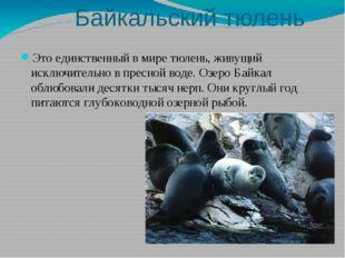 Байкальский тюлень Это единственный в мире тюлень, живущий исключительно в п