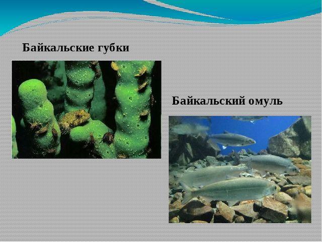 Байкальские губки Байкальский омуль