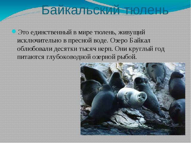 Байкальский тюлень Это единственный в мире тюлень, живущий исключительно в п...