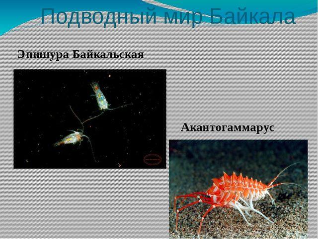 Подводный мир Байкала Акантогаммарус Эпишура Байкальская