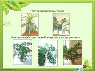 . Растения кабинета географии Монстеры и гибискусы «китайские розы» в коридор