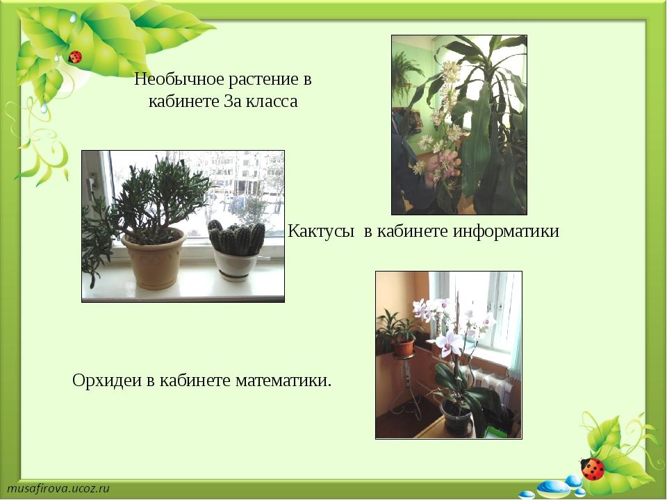 Необычное растение в кабинете 3а класса Кактусы в кабинете информатики Орхиде...
