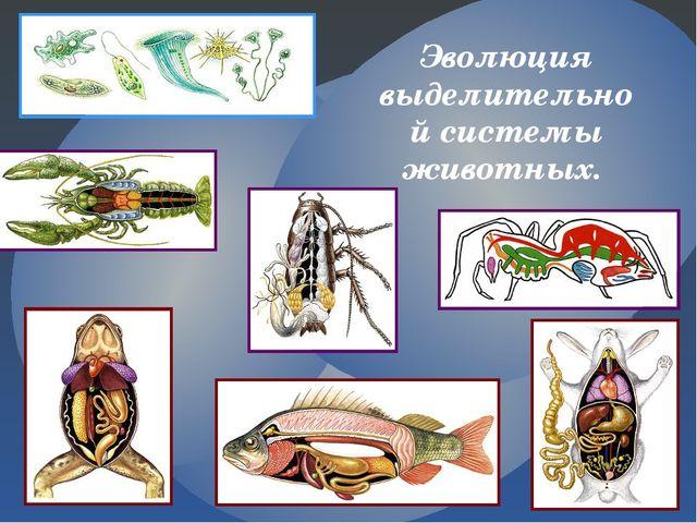 Эволюция выделительной системы животных.