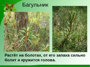 Багульник Растёт на болотах, от его запаха сильно болит и кружится голова.