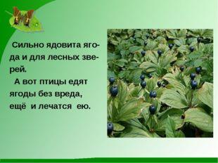 Сильно ядовита яго- да и для лесных зве- рей. А вот птицы едят ягоды без вре