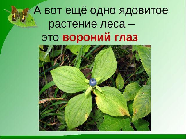 А вот ещё одно ядовитое растение леса – это вороний глаз