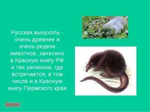 Русская выхухоль - очень древнее и очень редкое животное, занесено в Красную