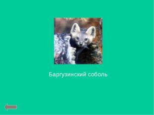 Баргузинский соболь