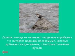 Оляпка, иногда ее называют «водяным воробьем», т.к. питается водными насекомы