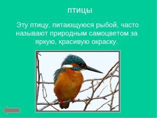 Эту птицу, питающуюся рыбой, часто называют природным самоцветом за яркую, к