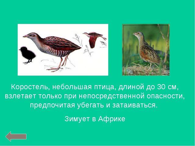 Коростель, небольшая птица, длиной до 30 см, взлетает только при непосредстве...